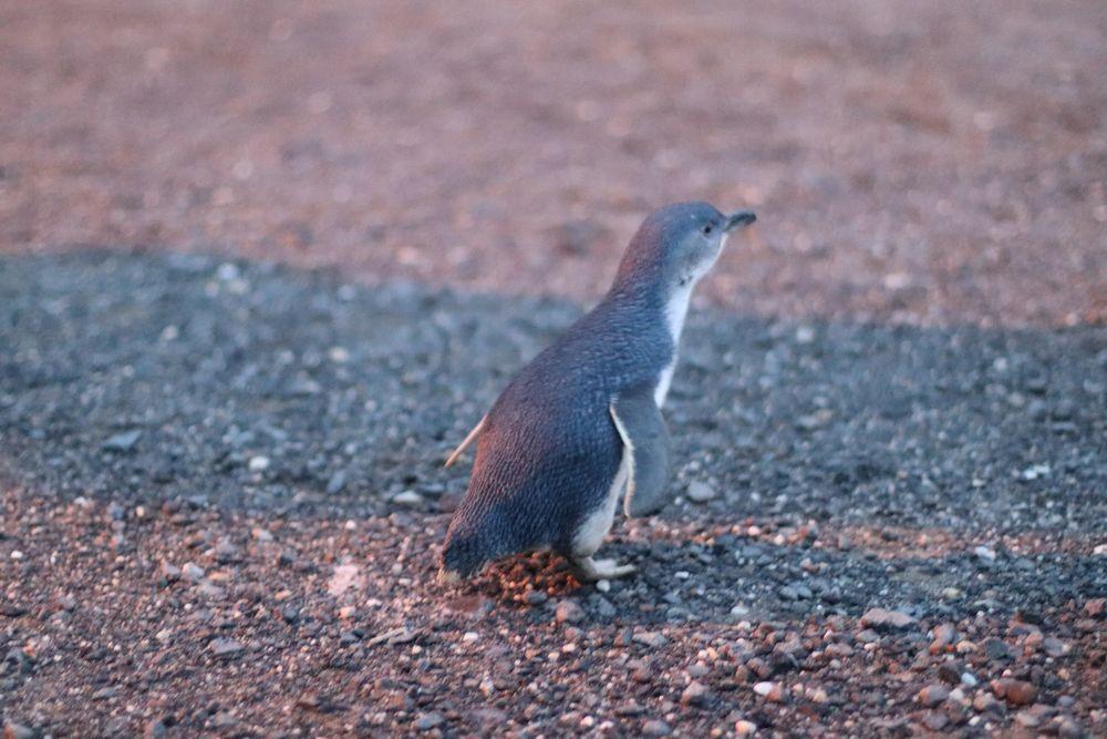 Julia_Luedtke_(C)_julia_streetstyle_blog_Australien_australia_penguin_sunset_16_k